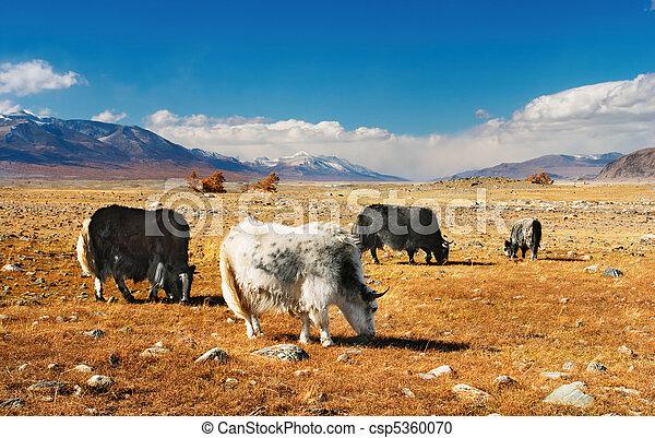 Grazing yaks - csp5360070