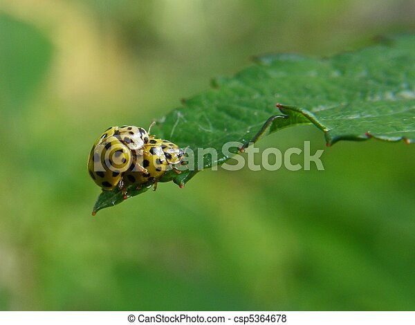 Stock Photo - Two yellow lady bugs mating - stock image, images ...