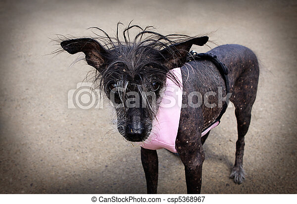 Chinese Crested Hairless Dog - csp5368967
