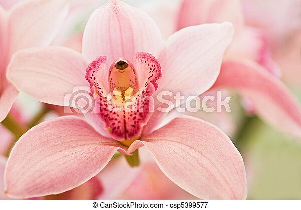 image de cymbidium ou bateau orchid e boat orchid e ou csp5399577 recherchez des. Black Bedroom Furniture Sets. Home Design Ideas