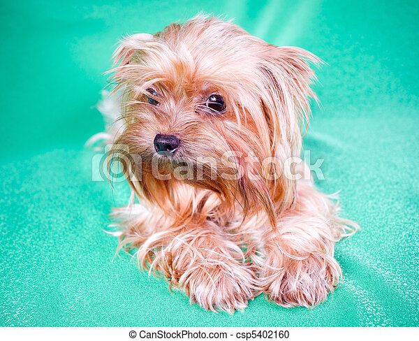 Yorkshire Terrier - csp5402160
