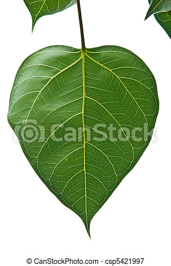 Bodhi, o, Peepal, hoja, Bodhi, árbol - csp5421997