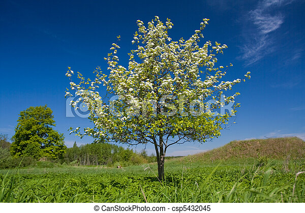 Apple tree with flowers - csp5432045