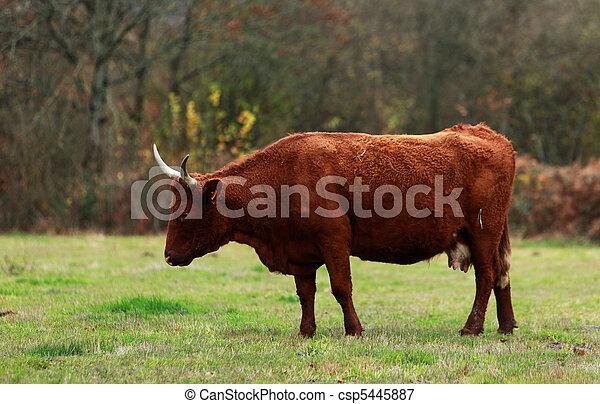 Brown cattle - csp5445887