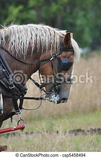 Belgian Draft Horse working hard - csp5458494
