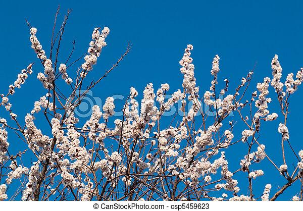 cherry-tree