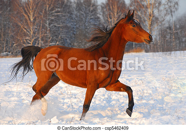 Proud red arabian horse on a snow-covered field in sunset light - csp5462409