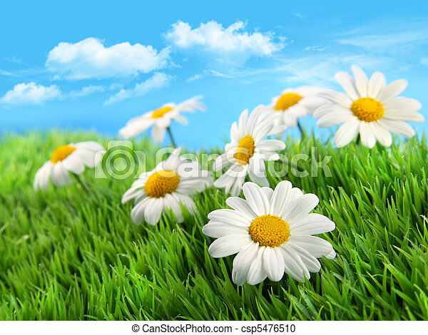 Daisies in grass against a blue sky - csp5476510