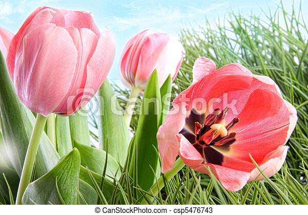 Colorful spring tulips in tall grass - csp5476743