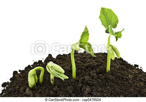 Bean seeds germinating shot - csp5479524