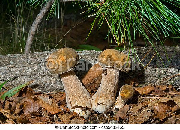 Edible mushrooms (Cape) 4 - csp5482465