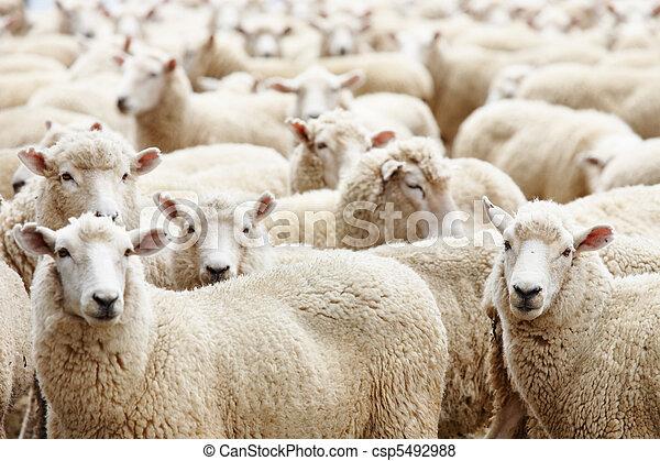 sheep, 群れ - csp5492988