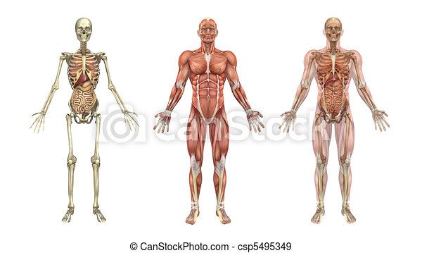 Anatomical Overlays with Internal Organs - csp5495349