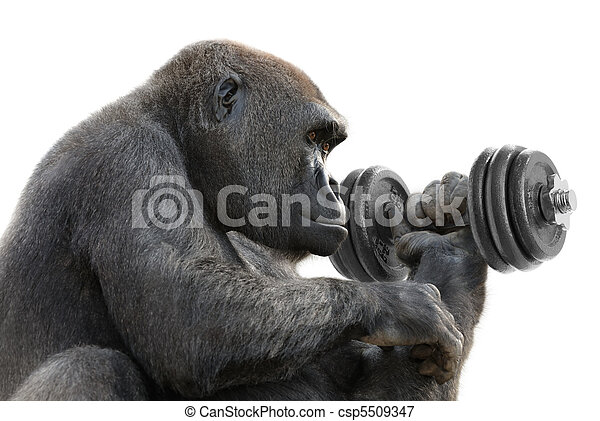 Gorilla working out with a dumbbell - csp5509347