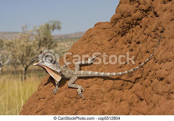 Frilled Lizard Chlamydosaurus kingii Kimberley region Western Australia Large arboreal dragon from Northern Australia  - csp5512804
