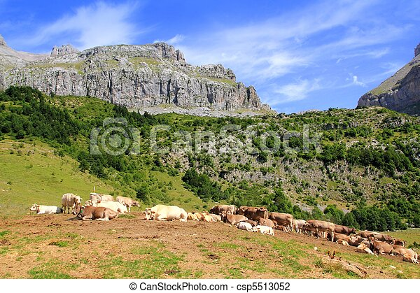 Bisaurin peak Pyrenees cow cattle on valley - csp5513052