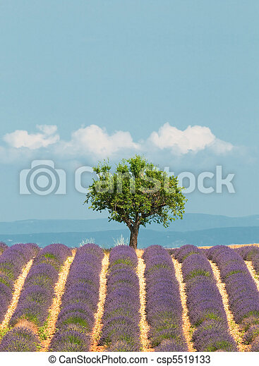 tree in lavender field, Provence, France - csp5519133