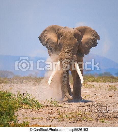 altes, elefant - csp5526153