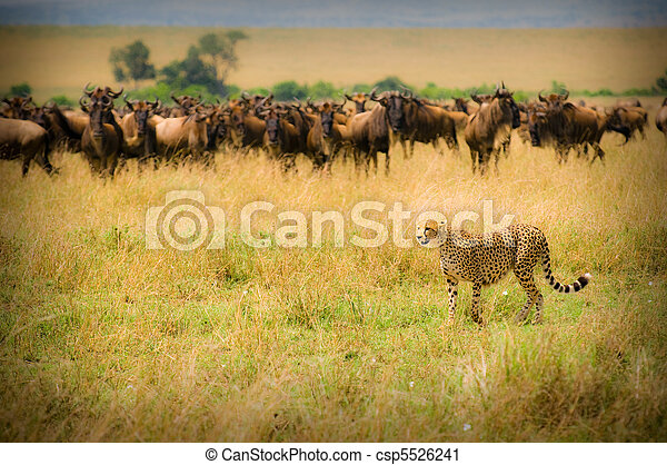 cheetah hunting - csp5526241