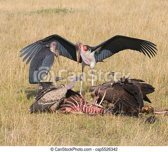 Mara,  feedind,  marabou, Kenia, Geier,  Masai - csp5526342