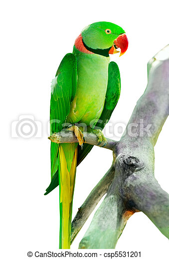 Colourful parrot bird sitting on the perch - csp5531201