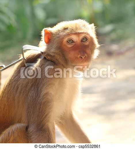 Captive monkey - csp5532861