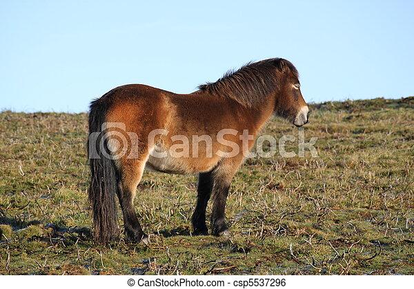 Exmoor Pony - csp5537296