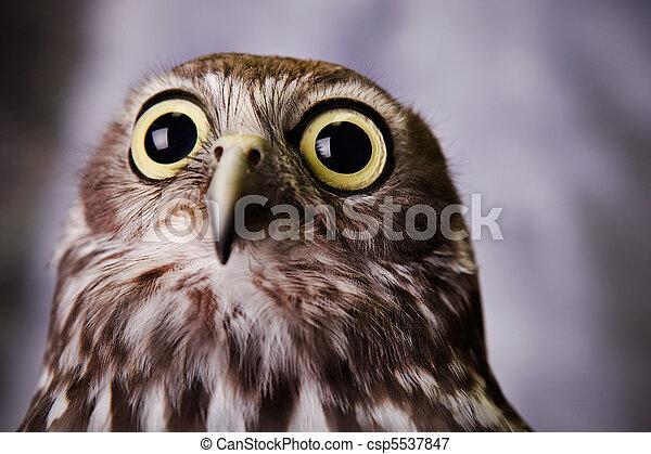 Gazing Owl - csp5537847