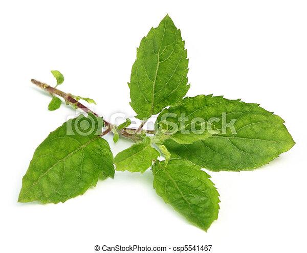Tulsi leaves - csp5541467