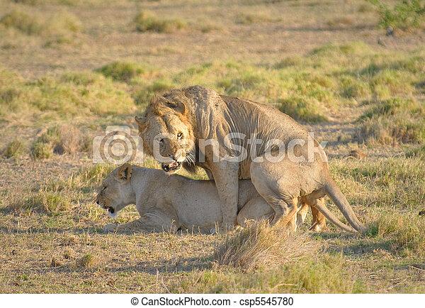 Archivi fotografici di accoppiamento leoni amboseli nazionale parcocsp5545780 cerca - Leones apareamiento ...