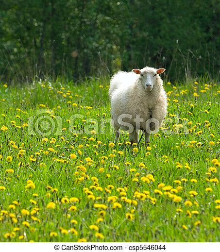 sheep in dandelion field