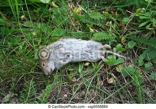 dead mouse lying in grass