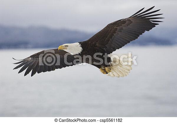 Alaskan, sas, kopasz - csp5561182