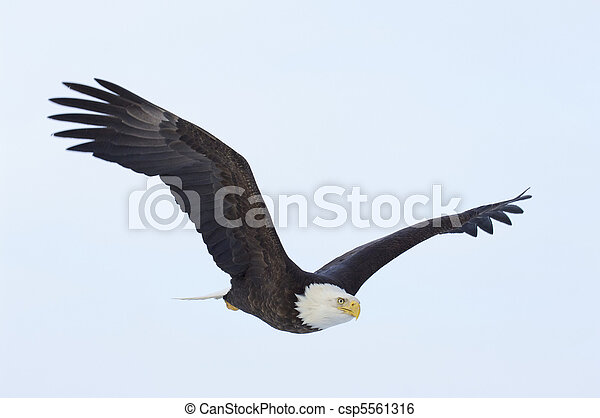 Alaskan Bald Eagle - csp5561316