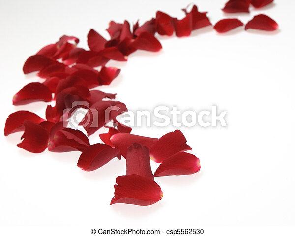 rose petals on white background - csp5562530
