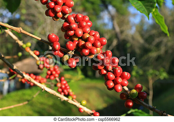 Coffee beans ripening on plant - csp5566962