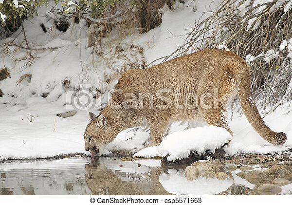 Stock Photos of Mountain Lion in deep snow drinking from pond