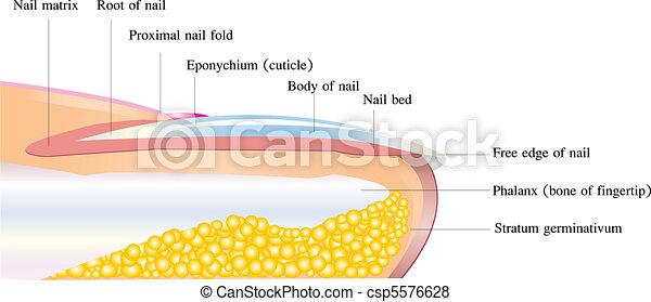 nail anatomy - csp5576628