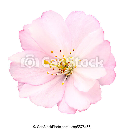Cherry blossom isolated on white - csp5578458