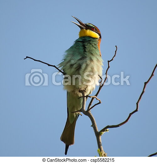 European Bee eater and catch bee  - csp5582215