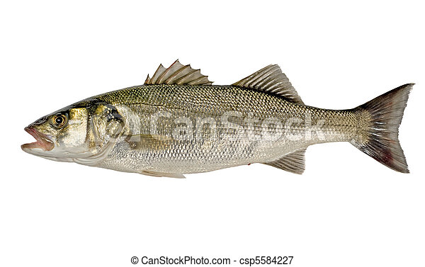 Freshly Caught Sea Bass (Dicentrarchus labrax) Isolated on White Background - csp5584227