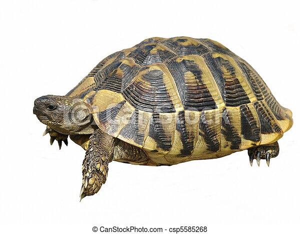 Herman's Tortoise turtle isolated - csp5585268