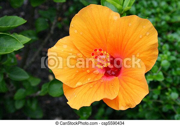 Yellow Hibiscus - csp5590434