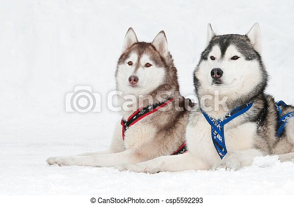 Sled dog Stock Photo Images. 2,677 Sled dog royalty free pictures ...
