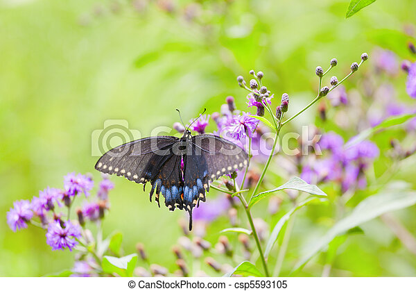 Black Swallowtail Butterfly - csp5593105