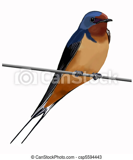 Barn Swallow on wire - csp5594443