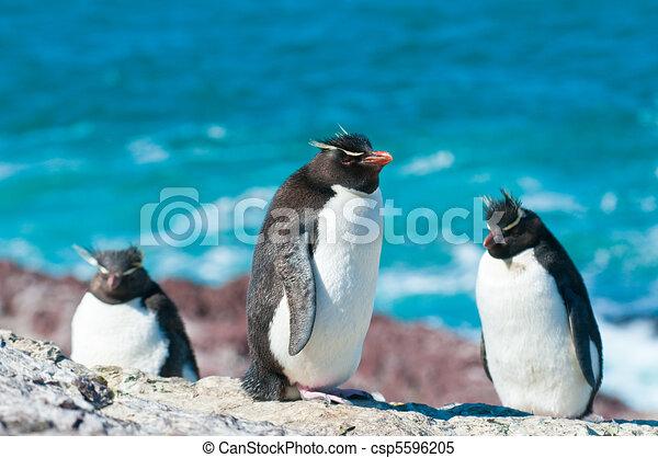 rockhopper penguins - csp5596205