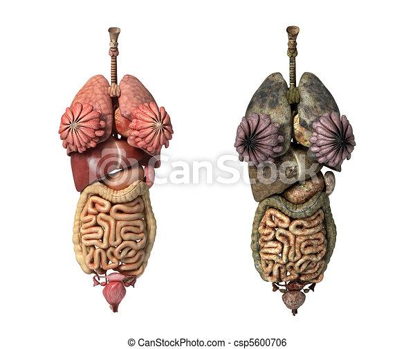 Female internal organs - csp5600706