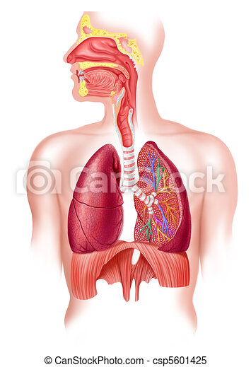 Human full respiratory system cross section - csp5601425