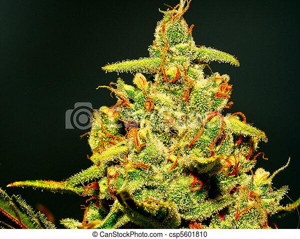 ripe bud - csp5601810